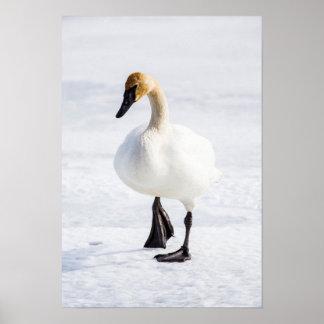 Wyoming, refugio nacional de los alces, cisne de póster