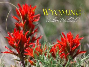 Wyoming State Flower: Indian Paintbrush Postcard