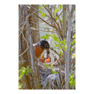 Wyoming, Sublette County, American Robin feeding Poster