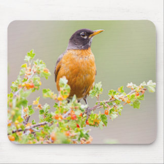 Wyoming, Sublette County, An American Robin Mouse Pad