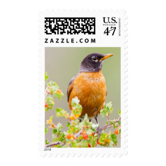 Wyoming, Sublette County, An American Robin Postage
