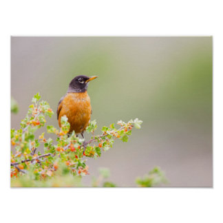 Wyoming, Sublette County, An American Robin Poster