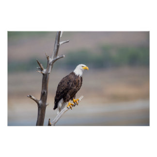Wyoming, Sublette County, Bald Eagle roosting Poster