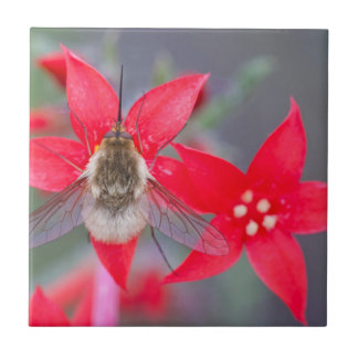Wyoming, Sublette County, Bee Fly with proboscis Tile
