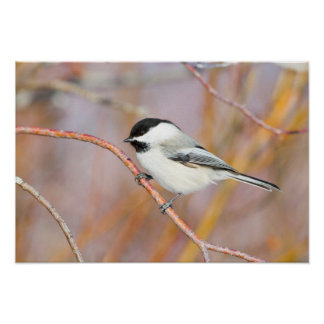 Wyoming, Sublette County, Black-capped Chickadee Poster