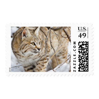 Wyoming, Sublette County, Bobcat in winter Postage
