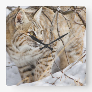 Wyoming, Sublette County, Bobcat in winter Square Wall Clock