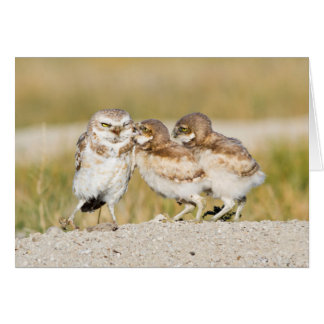 Wyoming, Sublette County, Burrowing owl chicks Card