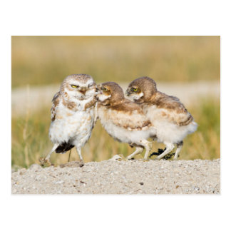 Wyoming, Sublette County, Burrowing owl chicks Postcard