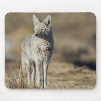 Wyoming, Sublette County, Coyote in morning Mouse Pad