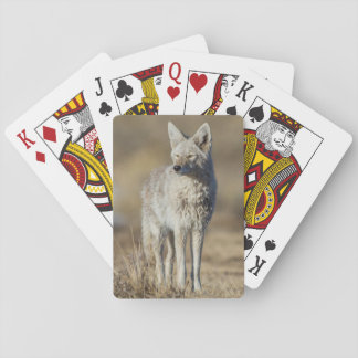 Wyoming, Sublette County, Coyote in morning Playing Cards