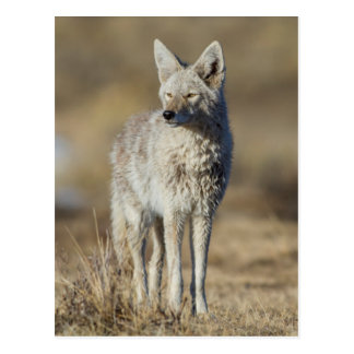 Wyoming, Sublette County, Coyote in morning Postcard