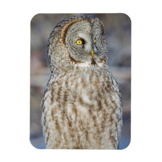 Wyoming, Sublette County, Great Gray Owl 1 Magnet