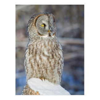 Wyoming, Sublette County, Great Gray Owl 1 Postcard