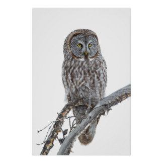 Wyoming, Sublette County, Great Gray Owl 2 Poster