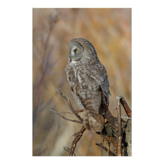 Wyoming, Sublette County, Great Gray Owl 3 Poster