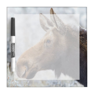 Wyoming, Sublette County, head shot of cow Moose Dry-Erase Board