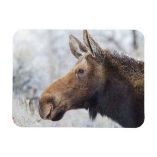 Wyoming, Sublette County, head shot of cow Moose Magnet