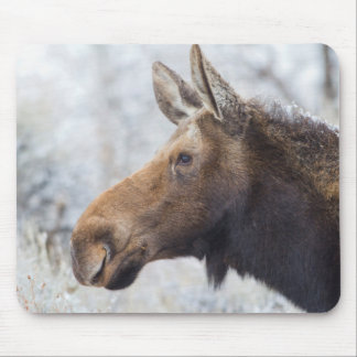 Wyoming, Sublette County, head shot of cow Moose Mouse Pad