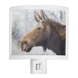 Wyoming, Sublette County, head shot of cow Moose Night Light