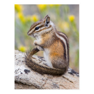 Wyoming, Sublette County, Least Chipmunk Postcard