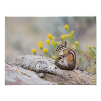 Wyoming, Sublette County, Least Chipmunk Poster