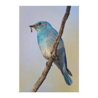 Wyoming, Sublette County, Male Mountain Bluebird Canvas Print