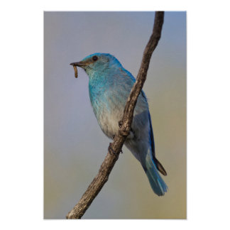 Wyoming, Sublette County, Male Mountain Bluebird Poster