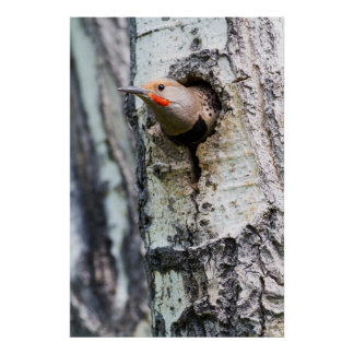 Wyoming, Sublette County, Male Northern Flicker Poster