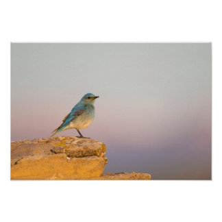 Wyoming, Sublette County, Mountain Bluebird male Poster