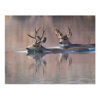 Wyoming, Sublette County, Mule deer bucks Postcard