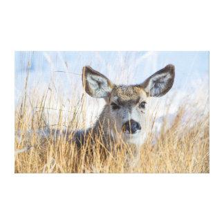 Wyoming, Sublette County, Mule Deer doe resting Canvas Print