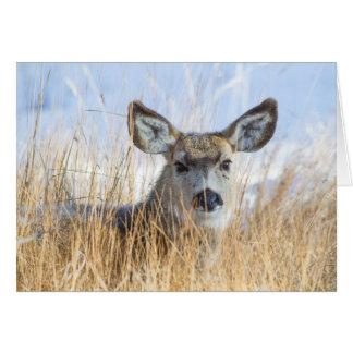 Wyoming, Sublette County, Mule Deer doe resting Card