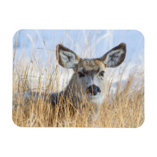 Wyoming, Sublette County, Mule Deer doe resting Magnet