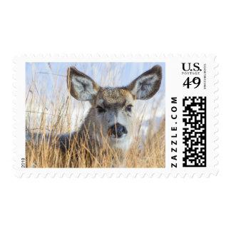 Wyoming, Sublette County, Mule Deer doe resting Postage