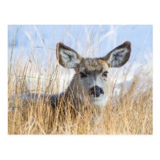 Wyoming, Sublette County, Mule Deer doe resting Postcard