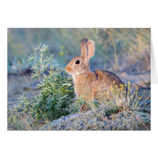 Wyoming, Sublette County, Nuttall's Cottontail 3 Greeting Card