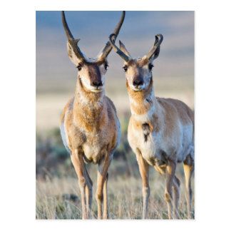 Wyoming, Sublette County, Pronghorn bucks Postcard