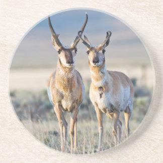 Wyoming, Sublette County, Pronghorn bucks Sandstone Coaster