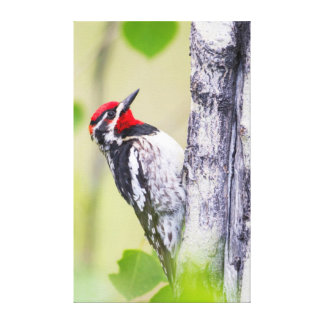 Wyoming, Sublette County, Red-naped Sapsucker Canvas Print