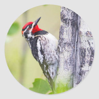 Wyoming, Sublette County, Red-naped Sapsucker Classic Round Sticker