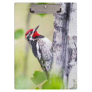 Wyoming, Sublette County, Red-naped Sapsucker Clipboard