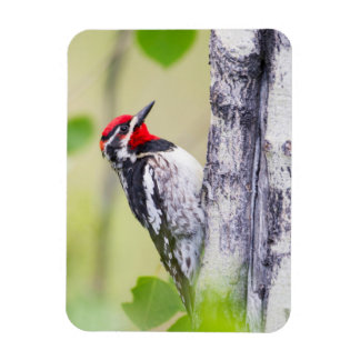 Wyoming, Sublette County, Red-naped Sapsucker Magnet