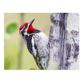 Wyoming, Sublette County, Red-naped Sapsucker Postcard