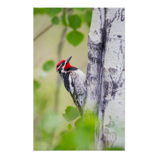 Wyoming, Sublette County, Red-naped Sapsucker Poster