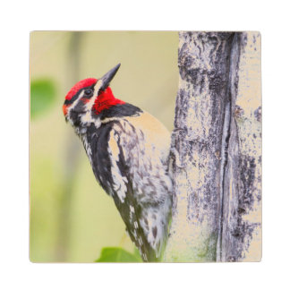 Wyoming, Sublette County, Red-naped Sapsucker Wooden Coaster
