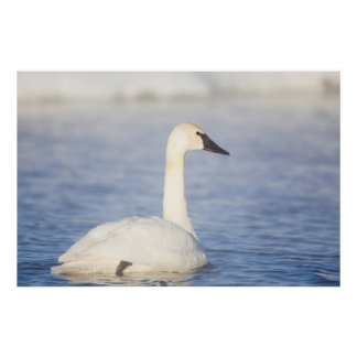 Wyoming, Sublette County, Trumpeter Swan on pond Poster