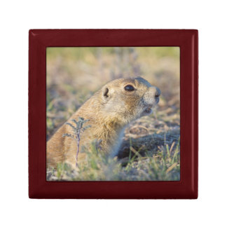 Wyoming, Sublette County, White-tailed Prairie 1 Jewelry Box