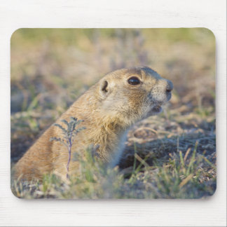 Wyoming, Sublette County, White-tailed Prairie 1 Mouse Pad