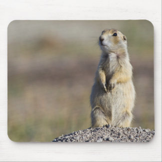 Wyoming, Sublette County, White-tailed Prairie 2 Mouse Pad